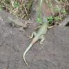 Geckos ueberall