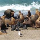 Seeloewen auf Valdez