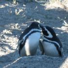 Pinguine auf Valdez