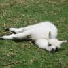 Erst eine Woche altes Alpaka! - Suess!