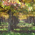 Endlose Weinreben