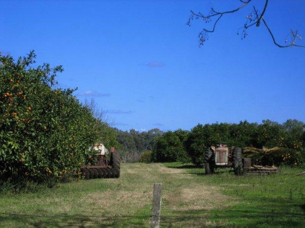 Neben der Estancia, Orangenplantage