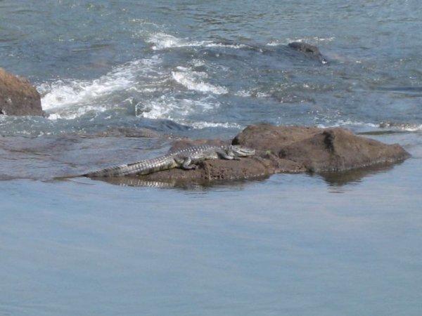Krokodile - zum Glueck in sicherer Entfernung