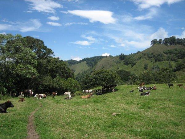 ... und ueberall vacas!