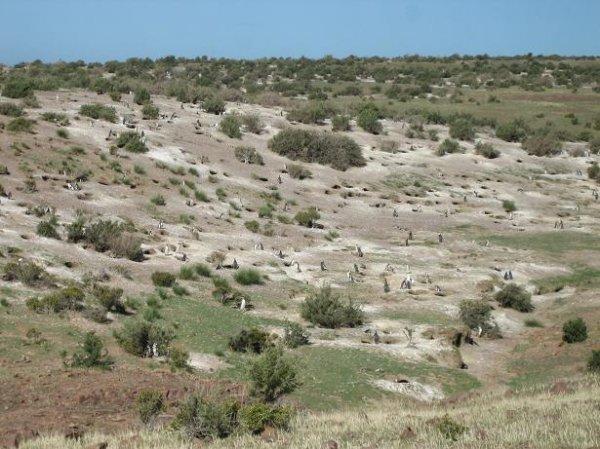 Pinguinkolonie in Camarones