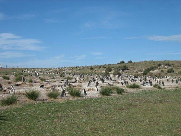 Soooo viele Pinguine!