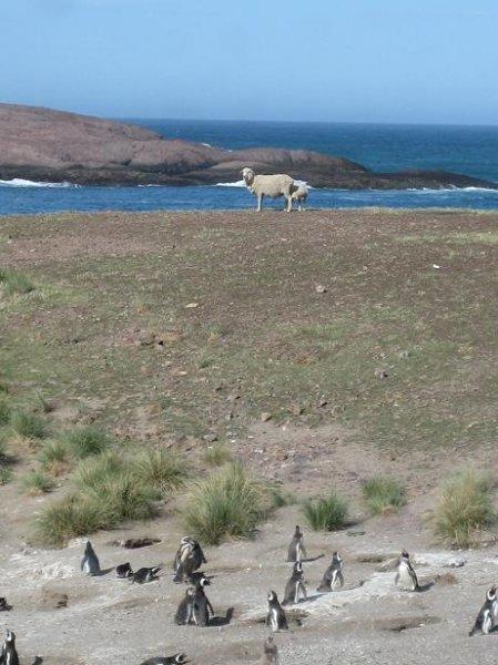 Schaefchen bei den Pinguinen