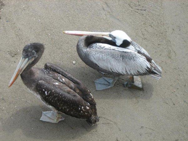Pelikane sind hier ueberall und nicht scheu