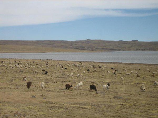 Hier oben wimmelt es von Alpakas, Lamas, Vicunas,...