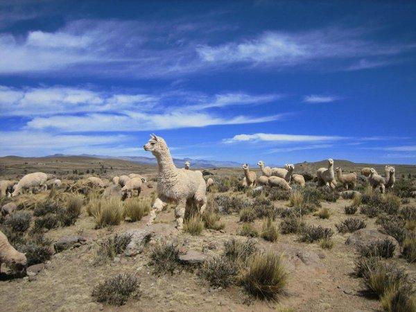 Die Alpacas finden es auch gaaaanz toll!
