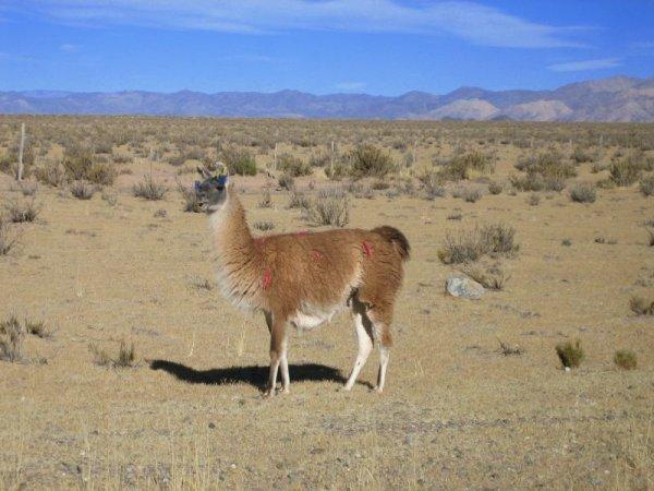 Unsere ersten Lamas!