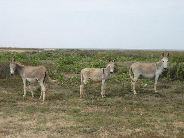 Suesse Eselchen ueberall auf der Insel